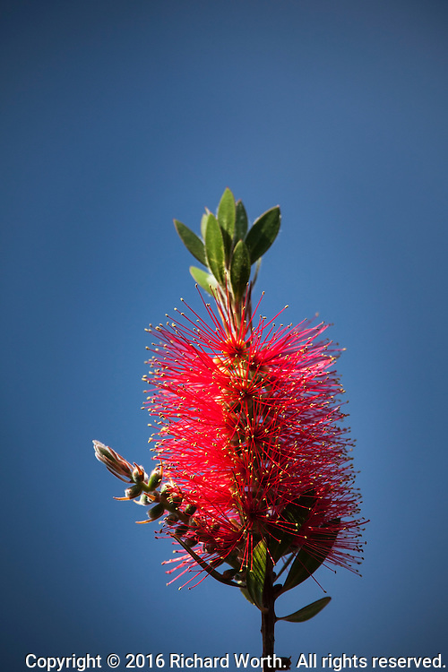 A bright red  Bottlebrush flower against a soft blue sky background.