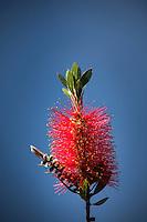 A bright red  Bottlebrush flower against a soft blue sky background.