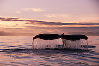 pu1091-D. Humpback Whale (Megaptera novaeangliae) tail flukes at sunset. Alaska, USA, Pacific Ocean..Photo Copyright © Brandon Cole. All rights reserved worldwide.  www.brandoncole.com..This photo is NOT free. It is NOT in the public domain. This photo is a Copyrighted Work, registered with the US Copyright Office. .Rights to reproduction of photograph granted only upon payment in full of agreed upon licensing fee. Any use of this photo prior to such payment is an infringement of copyright and punishable by fines up to  $150,000 USD...Brandon Cole.MARINE PHOTOGRAPHY.http://www.brandoncole.com.email: brandoncole@msn.com.4917 N. Boeing Rd..Spokane Valley, WA  99206  USA.tel: 509-535-3489