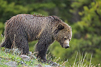 Grizzly bear (ursus arctos horribilis) in Wyoming