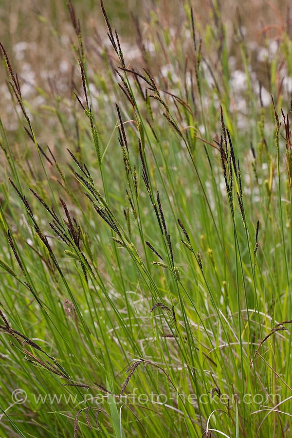 Steife Segge, Steif-Segge, Carex elata, Tussock Sedge, Tufted Sedge