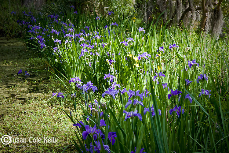 Magnolia Plantation,  Blue Flag Iris in bloom, Charleston, SC, USA