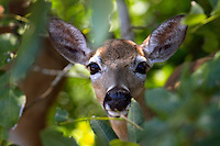 Endangered Key Deer, only found in the Florida Keys. The deer, much smaller than average deer, is known to swim between the small Keys and islands it inhabits.