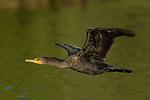 Cormorant in Flight Double-crested Cormorant Sepulveda Wildlife Refuge Southern California