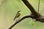 Common Tody Flycatcher, or Black Fronted tody-flycatcher, Todirostrum cinereum, Panama, Central America, Gamboa Reserve, Parque Nacional Soberania, perched in tree