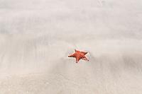Cushion Sea Star (Oreaster reticulatus), a common starfish on Star Beach, near Boca del Drago, Colon Island, Panama