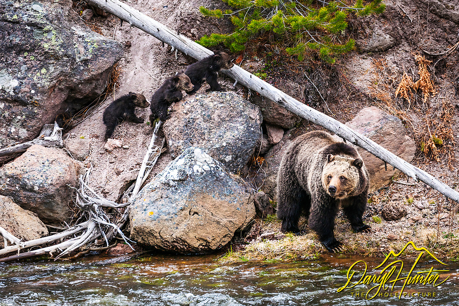 Grizzly Bear sow and three new cubs along the Gibbon River in Yellowstone National Park.