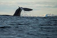 Sperm Whale (Physeter macrocephalus) fluke in waters off Andenes, Vesterålen, Norway