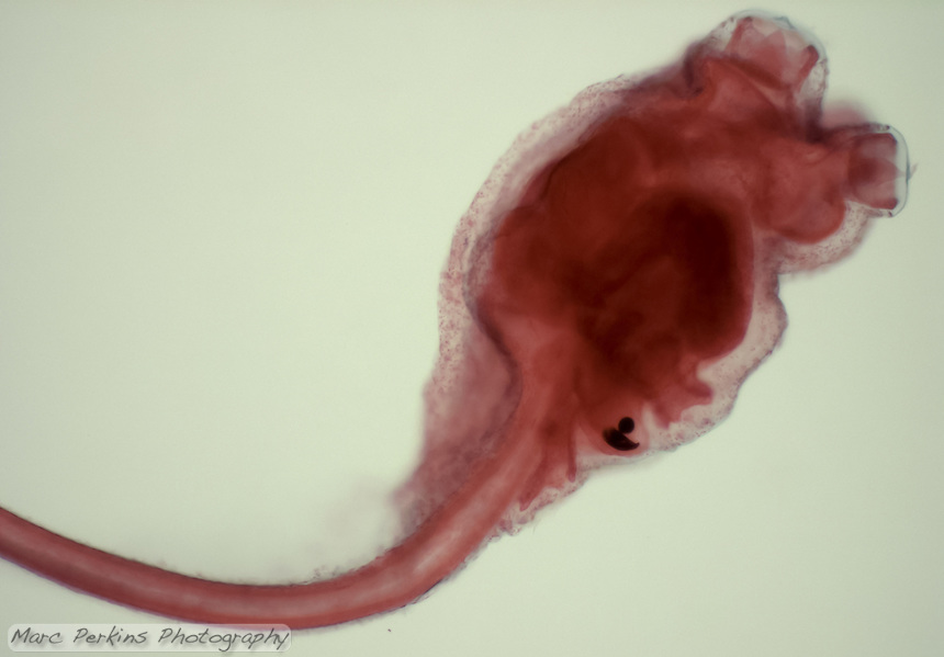 The larval stage of a tunicate (phylum Chordata, subphylum Urochordata or Tunicata).  This whole preserved individual shows the entire anatomy, which likely includes a notochord running down its tail.  Seen at approximately 100x magnification.