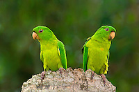 566700041 a pair of wild green parakeets aratinga holochlora perch on a dead palm tree stump on a private ranch in tamaulipas state in northern mexico