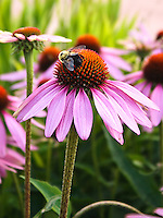A group of Purple Coneflower (Echinacea purpurea) in a natural garden with a bumblebee feeding on top of a central flower.