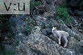 A Dall sheep on a mountain hillside. (Ovis dalli) Alaska, USA