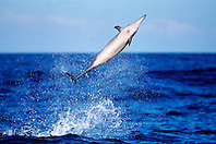 spinner dolphin leaping, .Stenella longirostris, note remora .on chest, Kona, Big Island, Hawaii (Pacific).