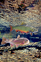 Brook Trout (with Rainbow Trout beneath)<br />