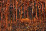 Greater Indian Rhinoceros, Royal Chitwan National Park, Nepal