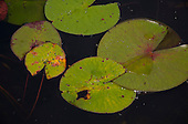 Long Island, New York, Lotus Lake. Close-up of some lily-pads.