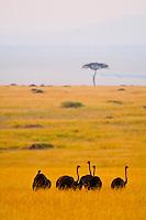 Female ostriches, Masai Mara National Reserve, Kenya