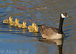 Canada Geese (Branta canadensis) adult swimming leading five goslings, Ithaca, New York, USA