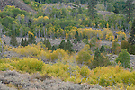 Quaking aspen (Populus tremuloides), fall, Toiyabe National Forest, California