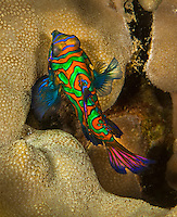 Female Mandarin Fish, Yap Micronesia (Photo by Matt Considine - Images of Asia Collection)