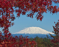 Snow capped Mt St Helens taken in Fall through tree branches of pin oak from Vancouver, WA hilltop during a blue sky day