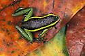 Three-striped poison frog (Epipedobates trivittatus) on dead leaves, Peru, Tambopata River