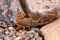 The Bark Scorpion (Centruroides exilicauda) is often found in under rocks during the day (Arizona)