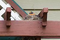 Robin on bird's nest in garden trellis