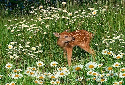 Deer fawn in field of daisies