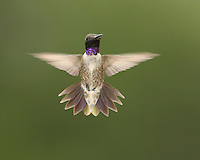 Black-chinned hummingbird flight.