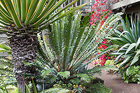 Cycad (Encephalartos sp.) under Furcraea selloa v. marginata by dirt path in Don Worth garden with foliage plants, Cycads