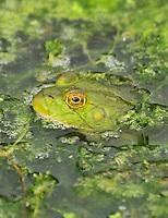 Bull frog peeking through algae on Whitaker Pond in NE Portland, Oregon