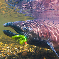 King salmon fly fishing on Red Creek which drains into the Yentna river, south of the Alaska range.