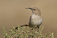 581970020 a wild lecontes thrasher toxostoma lecontei perches on a desert plant in kern county california united states