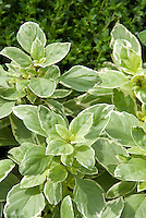 Variegated Basil Pesto Perpetuo foliage Ocimum x citriodorum