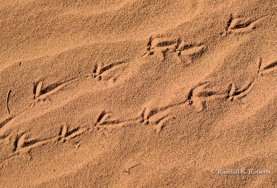 Lizard tracks in sand, southern New Mexico