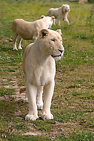 White Lion (Panthera leo krugensis) female