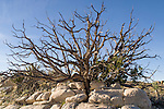 Joshua Tree National Park, California; creosote bush rooted in a rock formation