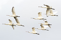 Spoonbills (Platalea leucorodia) in flight. Poole Harbour, Dorset, UK.