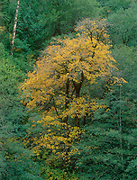 769550443 a big leaf maple tree acer macrophyllum with brilliant yellow gold leaves in fall color during late autumn in the temperate rainforest area of humbug mountain state park along the central oregon coast