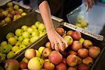 Mela Breen, of Nevada City, Ca., picks apples at Gowan's Oak Tree fruit stand in Philo, Ca., on Sunday, Oct. 10, 2010.