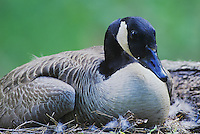 Canada Goose, Branta canadensis, adult on nest, Raleigh, Wake County, North Carolina, USA