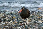Black oystercatcher, Fort Worden State Park, Washington