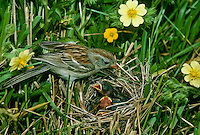 Field Sparrow mother, Spizella Passerina, feeding babies in nest