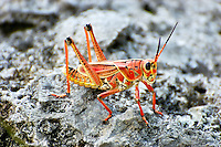 The incredibly colored lubber grasshopper is a very common sight in South Florida in the summertime. These insects eat anything and everything!