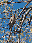 Northern Flicker Woodpecker ina tree near the shore of Lake Nokomis in early spring