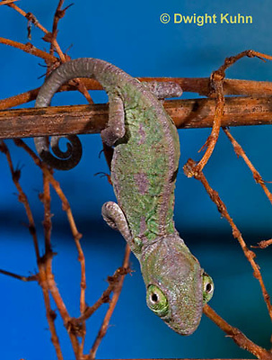 CH47-574z  Veiled Chameleon several week old young, Chamaeleo calyptratus
