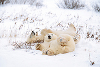 Polar bears play in the snow while waiting for the ice form on the Hudson bay in Churchill, Manitoba, CANADA