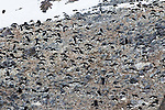 A colony of nesting Adelie Penguins on Cockburn Island, Weddell Sea, Antarctica