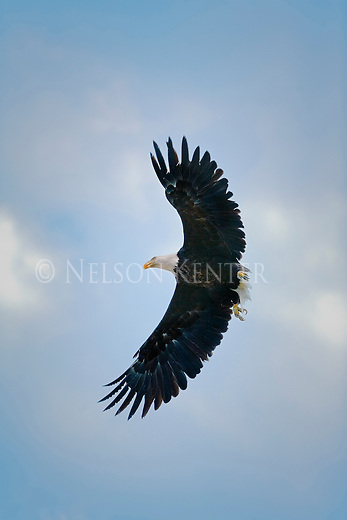 A flying Bald eagle in Montana